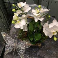 White mini Phalaenopsis in pot